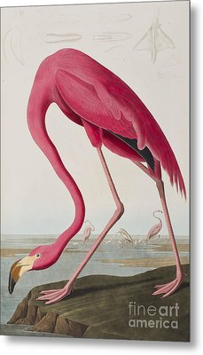 Flamingo Metal Print by John James Audubon
