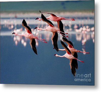Flamingos In Flight-signed Metal Print