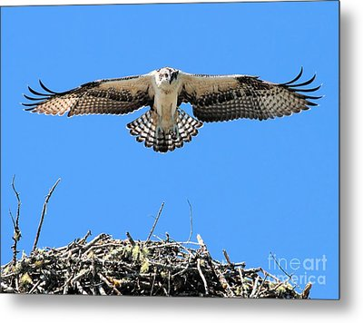 Metal Print featuring the photograph Flegeling Osprey by Debbie Stahre