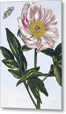 Flesh Colored Common Peony Metal Print by Pierre-Joseph Buchoz