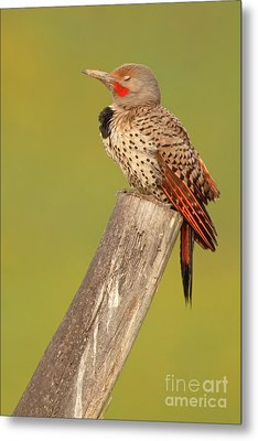 Metal Print featuring the photograph Flicker Asleep On Perch by Max Allen
