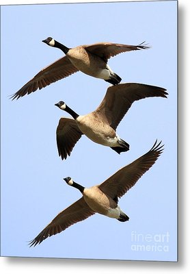 Flight Of Three Geese Metal Print by Wingsdomain Art and Photography