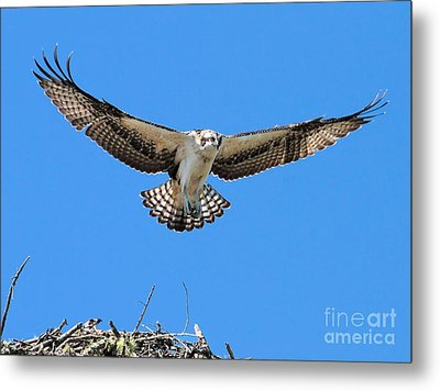 Metal Print featuring the photograph Flight Practice Over The Nest by Debbie Stahre