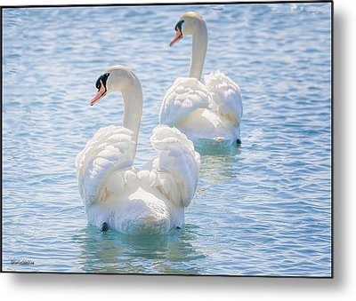 Flirting Swans Metal Print