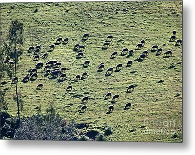 Flock Of Sheep Metal Print by Bruno Spagnolo