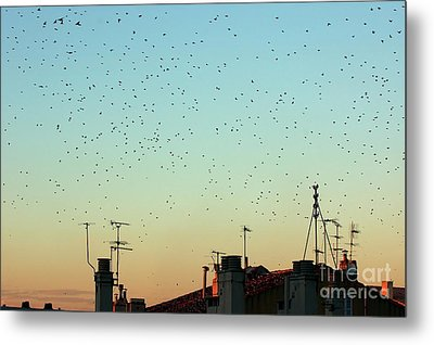 Flock Of Swallows Flying Over Rooftops At Sunset During Fall Metal Print by Sami Sarkis