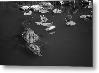Florida Gator Metal Print by Jason Moynihan