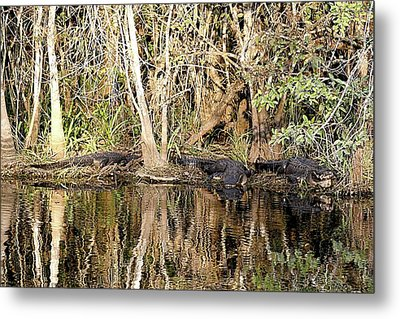 Florida Gators - Everglades Swamp Metal Print by Jerry Battle