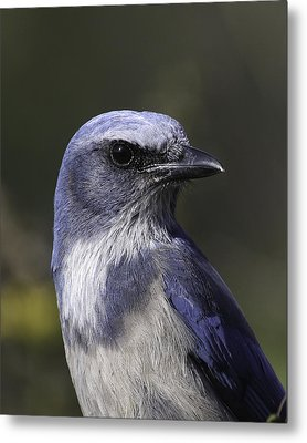 Florida Scrub Jay Metal Print by Elizabeth Eldridge