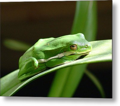 Florida Tree Frog Metal Print by Ned Stacey