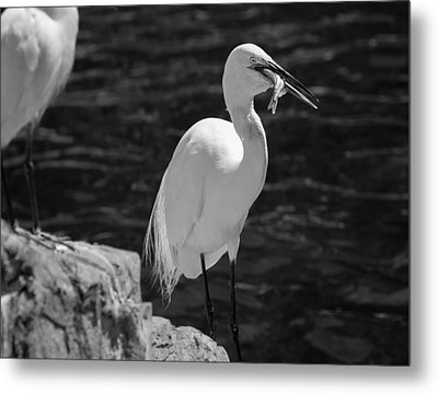 Florida White Egret Metal Print by Jason Moynihan