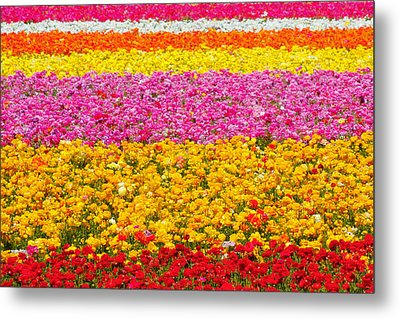 Flower Fields Carlsbad Ca Giant Ranunculus Metal Print by Christine Till