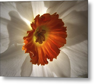 Flower Narcissus Metal Print