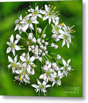 Flowering Garlic Chives Metal Print by Kaye Menner