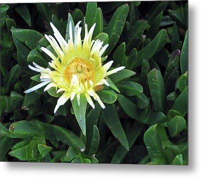 Flowering Ice Plant Metal Print by Sandy Taylor