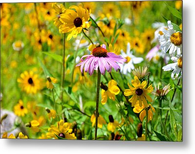 Flowering Rudbeckia 8 Metal Print by Lanjee Chee