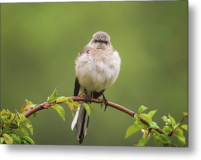 Fluffy Mockingbird Metal Print by Terry DeLuco