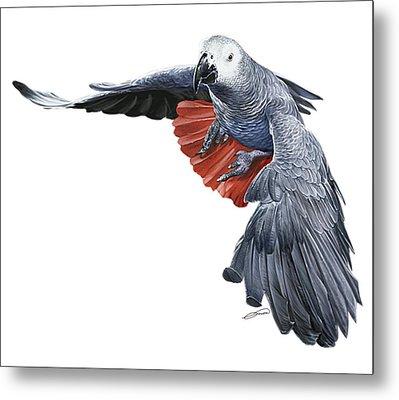 Flying African Grey Parrot Metal Print by Owen Bell