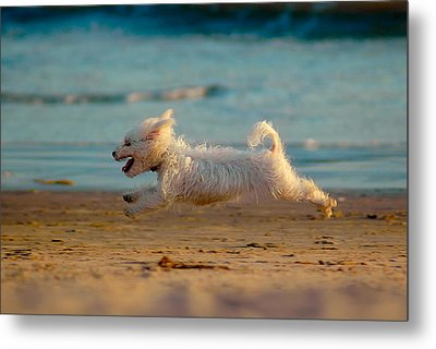 Flying Dog Metal Print by Harry Spitz