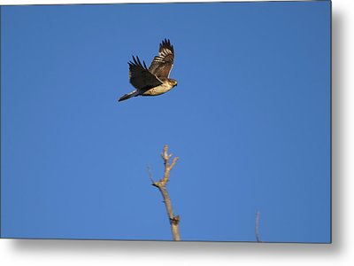 Flying Hawk I  Metal Print by Christopher Wood