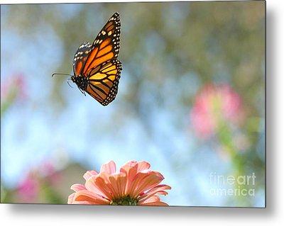 Flying Monarch Metal Print by Steve Augustin