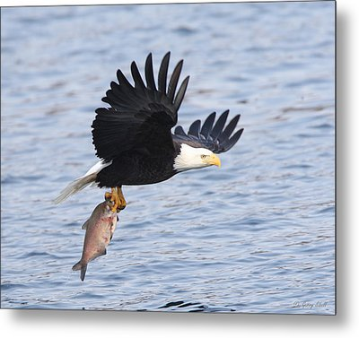 Flying Off With The Catch Metal Print by Gerry Sibell