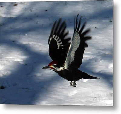 Flying Pileated Woodpecker Metal Print