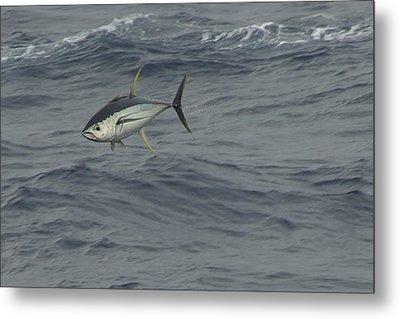 Metal Print featuring the photograph Flying Tuna by Bradford Martin