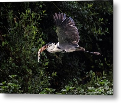 Metal Print featuring the photograph Flying With Lunch by Wade Aiken