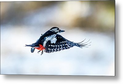 Metal Print featuring the photograph Flying Woodpecker by Torbjorn Swenelius