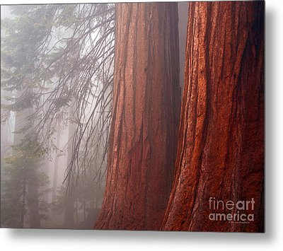 Fog In The Redwood Forest Sequoia National Park Metal Print