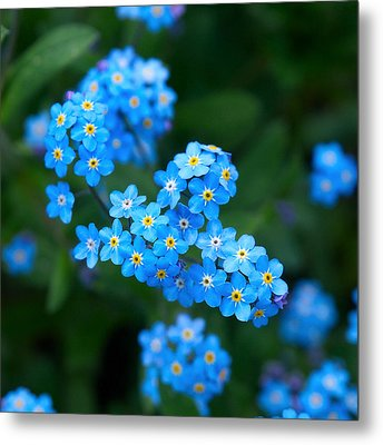 Forget -me-not 5 Metal Print