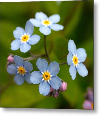 Forget-me-not Metal Print by Jouko Lehto