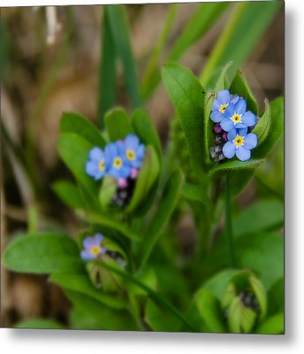 Forget Me Not Softly Metal Print