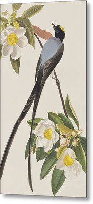 Fork-tailed Flycatcher  Metal Print by John James Audubon