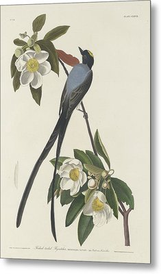 Forked-tail Flycatcher Metal Print by Rob Dreyer