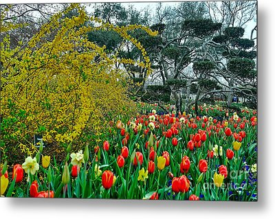 Metal Print featuring the photograph Forsythia Tulips And Daffadils by Diana Mary Sharpton