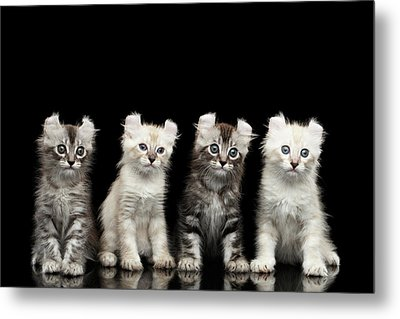 Four American Curl Kittens With Twisted Ears Isolated Black Background Metal Print