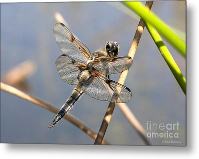 Four Spotted Chaser Metal Print