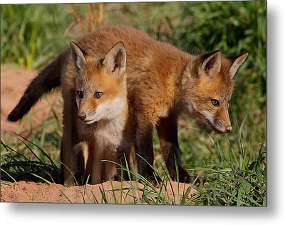 Fox Cubs Playing Metal Print by William Jobes