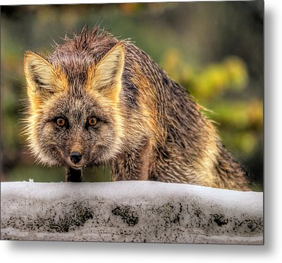 Fox Hunting In The Snow II Metal Print by Paul W Sharpe Aka Wizard of Wonders