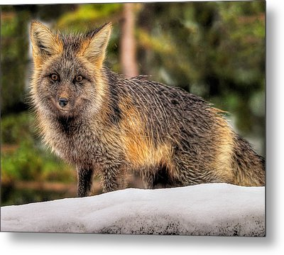 Fox Hunting In The Snow Metal Print by Paul W Sharpe Aka Wizard of Wonders