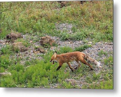 Fox On The Run Metal Print by David Wilkinson