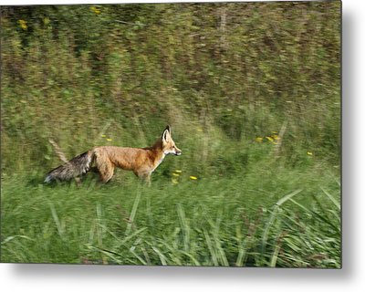 Metal Print featuring the photograph Fox On The Run by Ron Read