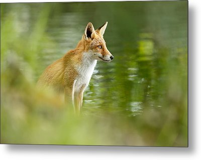 Fox Reflections Metal Print by Roeselien Raimond