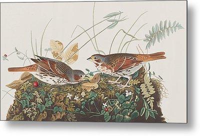 Fox Sparrow Metal Print by John James Audubon