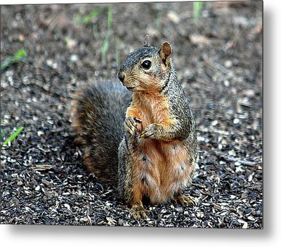 Fox Squirrel Breakfast Metal Print