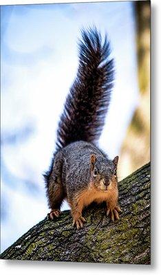 Fox Squirrel On Alert Metal Print by Onyonet  Photo Studios