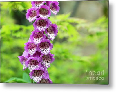 Metal Print featuring the photograph Foxglove Flowering by Tim Gainey