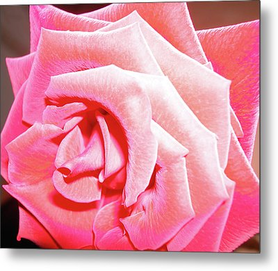 Metal Print featuring the photograph Fragrant Rose by Marie Hicks